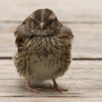 Song-sparrow-juvenile