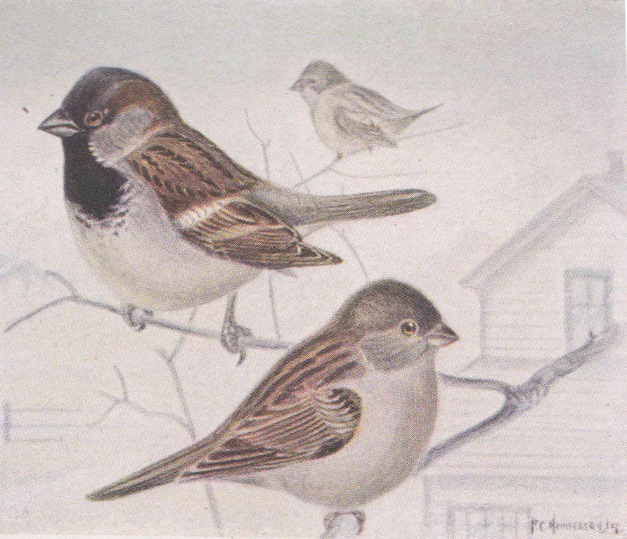 Bird Conservation History Five Fast Facts About The Sparrow War