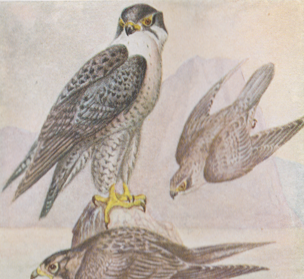 Peregrine Falcon (Duck Hawk) in P.Taverner's 1921 edition of Birds of Eastern Canada