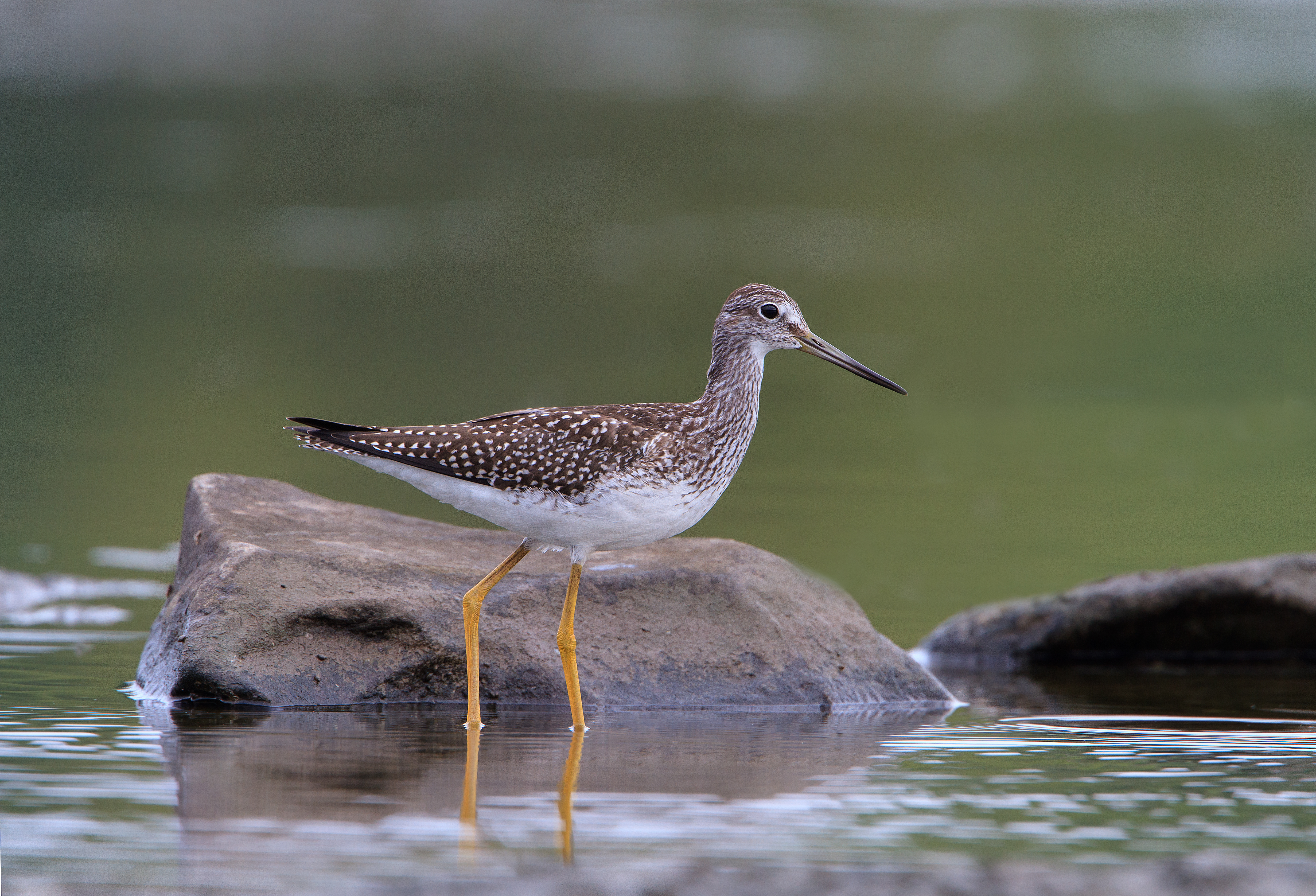 market hunting. (Greater Yellowlegs. Photo by Jeff Nadler.)